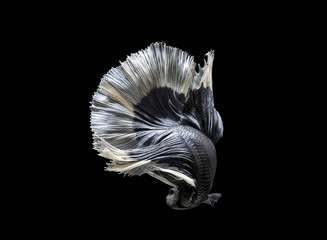 siamese fighting fish move on black background