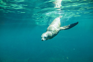 Underwater view of california sea lion diving