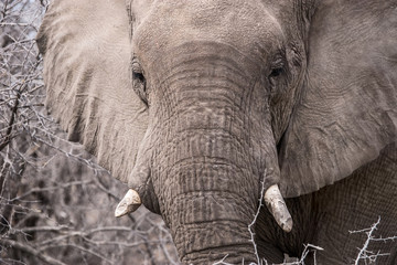 Close up of african elephant's face