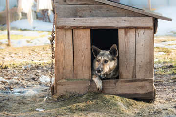 Young guard sentry dog sits on a chain in a kennel