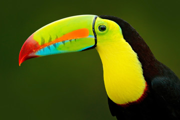 Detail portrait of toucan. Bill toucan portrait. Beautiful bird with big beak. Toucan. Big beak bird Chesnut-mandibled sitting on the branch in tropical rain with green jungle background, Costa Rica.