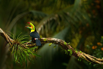 Keel-billed Toucan, Ramphastos sulfuratus, bird with big open bill. Toucan sitting on the branch, forest, Boca Tapada, green vegetation, Costa Rica. Nature travel, central America.Trees with bird.