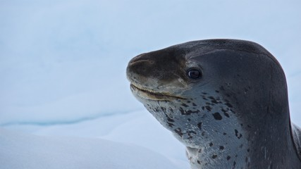 Leopard seal smiling on the iceberg in Antarctica