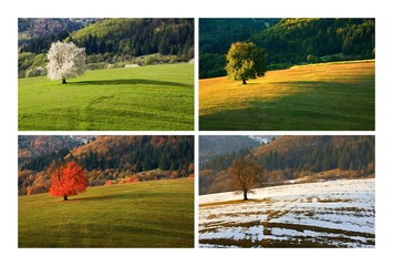 Four season single spring cherry tree on meadow. One year in life of tree. Spring, summer, autumn, winter landscape.