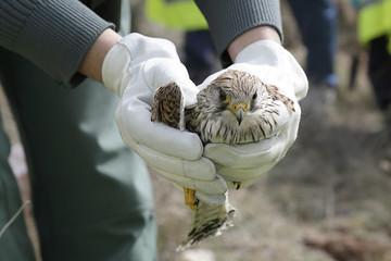 Pustułka zwyczajna, Falco tinnunculus, w rękach lekarza weterynarii