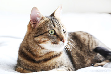 Beautiful cat on the grey plaid