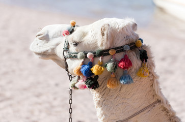 Cute white camel head with traditional colorful decoration
