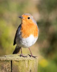 European robin stood on a fence post in sunlight