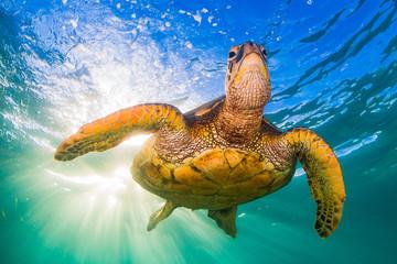 Endangered Hawaiian Green Sea Turtle Cruising in the warm waters of the Pacific Ocean