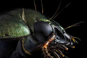 Extreme macro - Profile portrait of a green beetle photographed through a microscope at x10 magnification.