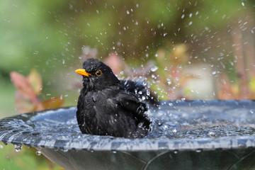 Close up of a male Blackbird enjoying a wash in a bird bath