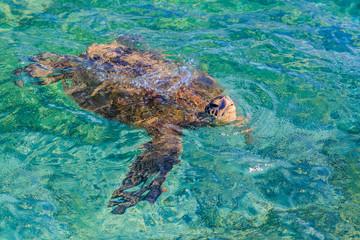 Zagrożony hawajski żółw morski zielony pływający na Oceanie Spokojnym