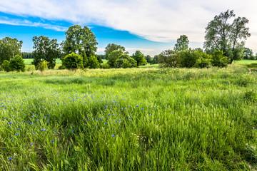 Idyllic green field landscape, cornflowers on field in the summer