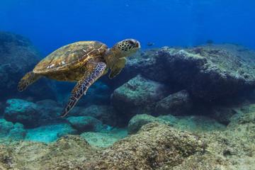 Hawajski zielony żółw morski