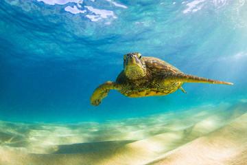 Zagrożony hawajski żółw morski zielony pływający po ciepłych wodach Oceanu Spokojnego na Hawajach