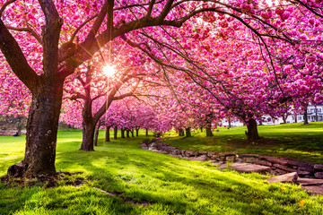 Cherry tree blossom explosion in Hurd Park, Dover, New Jersey (search file # 169989794 for the green leaves summer version)