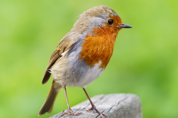 Close-up of a Robin standing on a piece of wood.