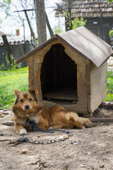 Young guard sentry dog sits on a chain near his dog house
