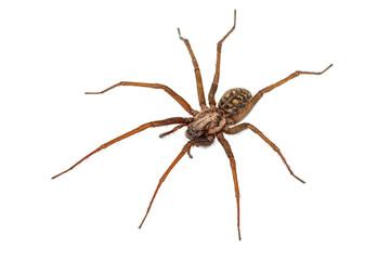 predatory spider on white