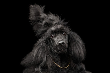 Funny Portrait of Royal Poodle Dog with Stupid face, gold chain and Haitstyle, Isolated on Black Background, front view
