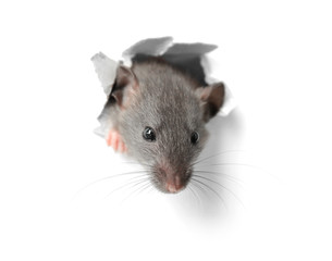 Cute funny rat looking out of hole in white paper