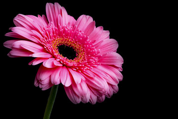 Pink gerbera flower with water drops on petals on dark background