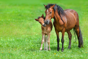 Mare with colt on spring green field