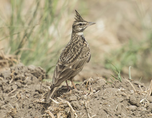 Crested lark stood in rural field meadow