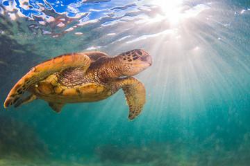 Hawajski żółw zielony pływanie na Oceanie Spokojnym na Hawajach
