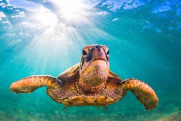 Hawaiian Green Sea Turtle swimming in the Pacific Ocean of Hawaii