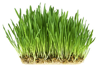 Green grass germination from wheat grains with roots. Image on a white background.