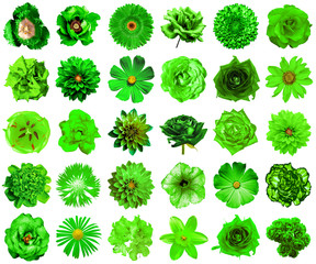 Collage of natural and surreal green flowers 30 in 1: peony, dahlia, primula, aster, daisy, rose, gerbera, clove, chrysanthemum, cornflower, flax, pelargonium, marigold, tulip isolated on white