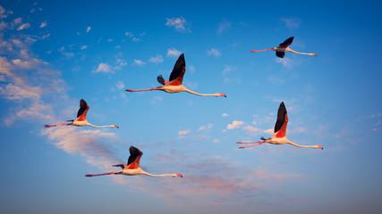 Several flamingos fly high at sunset