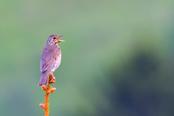 Song thrush (Turdus philomelos) singing on a Spring morning