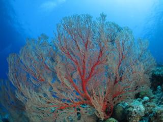 海中の宝石、美しいサンゴのある風景 オオイソバナ ワイドマクロ 沖縄離島ダイビング