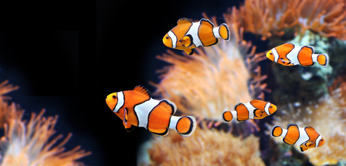 Zawilec morski i ryba klauna