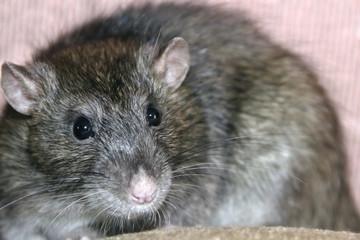 Homemade gray rat