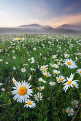 Daisies in the field near the mountains. Meadow with flowers and fog at sunset.