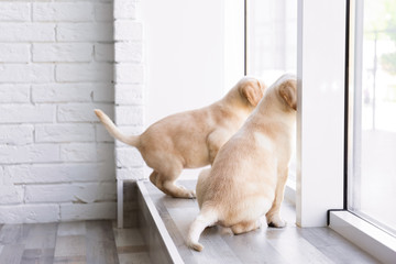 Cute labrador retriever puppies looking out of window at home