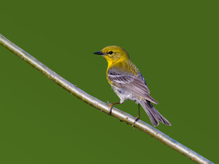 Pine Warbler on Green Background