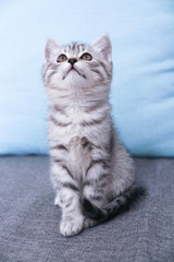 A kitten sits looking up. Striped Gray Kitty