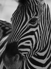 White and black striped Zebra head closeup