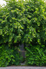 Iron garden gate overgrown with poplar branches and wine stems