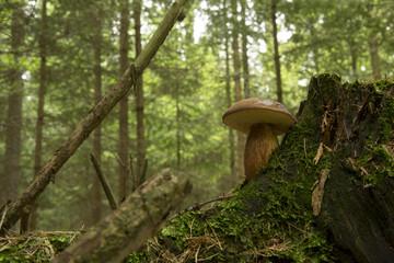 Imleria badia, fungus on a tree stump