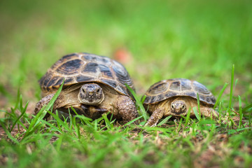 Two tortoises on the grass