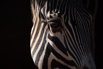 Close-up of Grevy zebra head catching sunlight