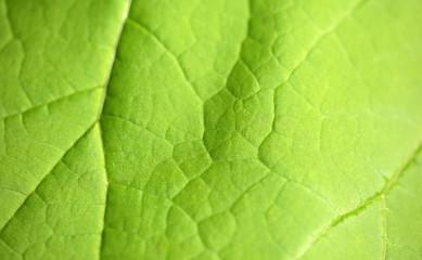 liść detal - katalpa