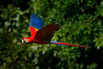 Red parrot in fly. Scarlet Macaw, Ara macao, in tropical forest, Costa Rica, Wildlife scene from tropic nature. Red bird in the forest. Parrot flight in the green jungle habitat.