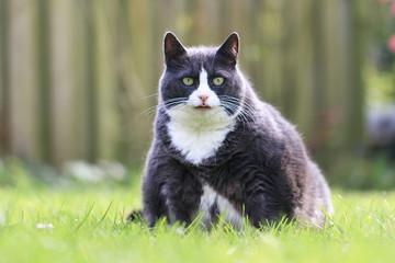 Portret pięknej głodnej otyłej kotki kotka w ogrodzie na wiosnę, wyglądający wyjątkowo głodnie