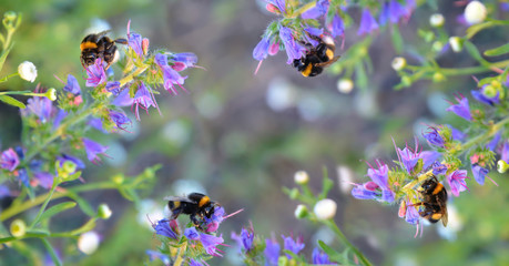 Busy bumblebees taking nectar. Toned picture.
